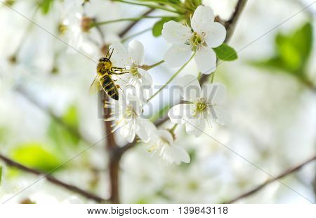 The bee collects nectar from a flower