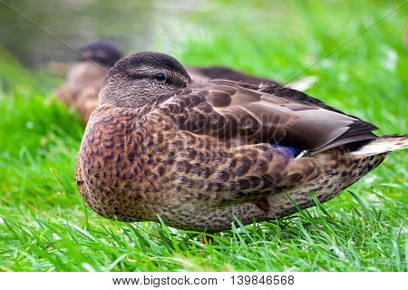 brown duck standing on green grass in a small park, buried her head in the wings, the summer season, the loss of one leg