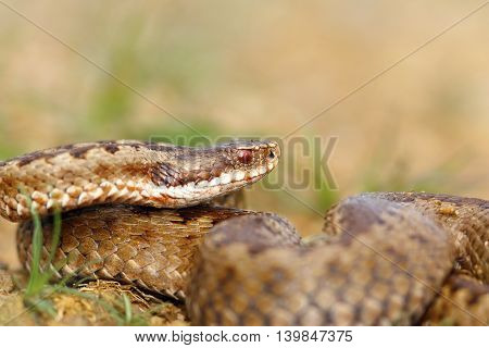 closeup of female crossed european viper in natural habitat ( Vipera berus )