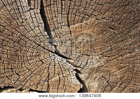 cross section on wood texture of annual rings
