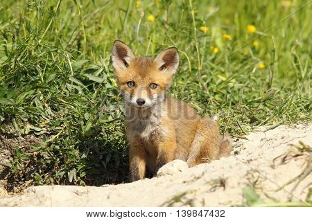 cute european fox puppy looking at the camera curious about the photographer ( Vulpes vulpes young wild animal )