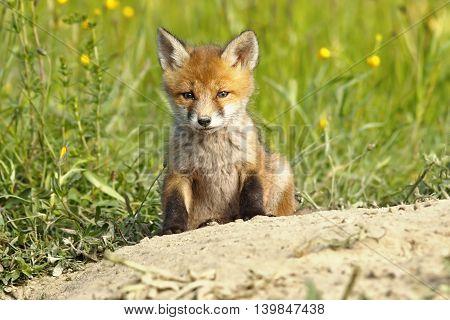 cute european red fox puppy near the den ( Vulpes vulpes )
