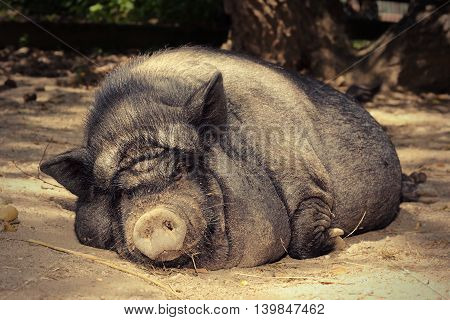 fat lazy pig sleeping on the ground