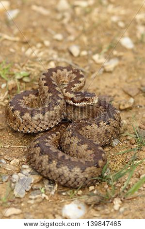 european crossed adder on the ground ( Vipera berus )