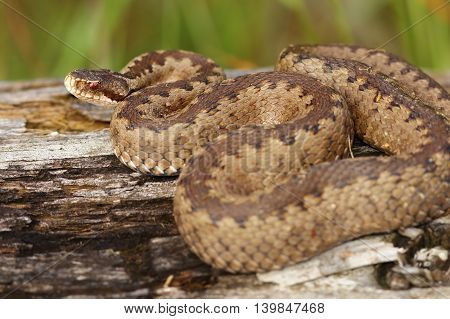 female european common crossed adder basking on stump ( Vipera berus )