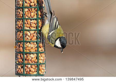 great tit feeding on bird feeder ( Parus major )