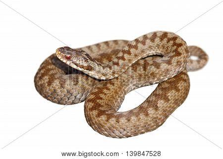 european venomous snake Vipera berus the common crossed adder isolation over white background
