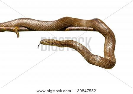 isolated smooth snake on a twig ( Coronella austriaca )