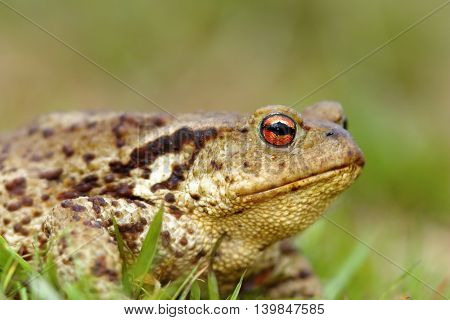 macro shot of brown common toad portrait ( Bufo bufo )