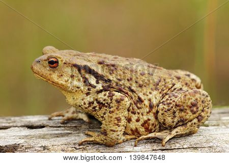 profile view of brown common toad ( Bufo bufo )
