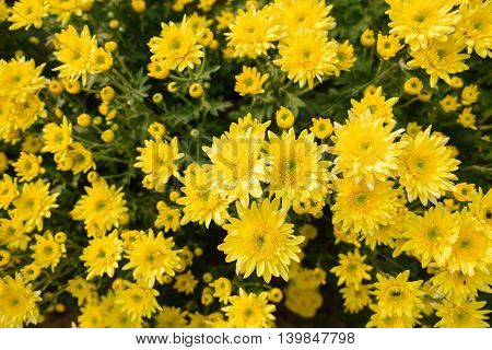 closeup beatiful flowers, yellow chrysanthemums in the garden