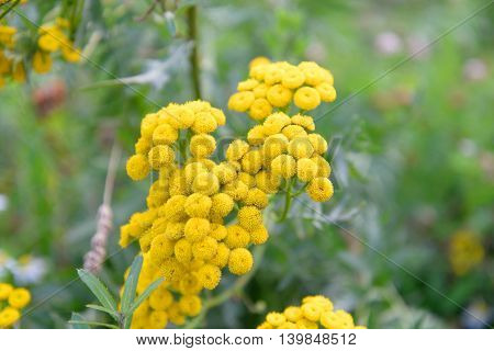 Tansy flower closeup on blurred background. Tansy Latin Tanacetum - Genus of perennial herbaceous plants and shrubs of the family Asteraceae.
