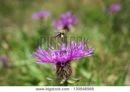 Flying bee with nectar collected on legs bags