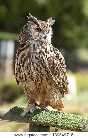 photographic study of an alert Eagle Owl