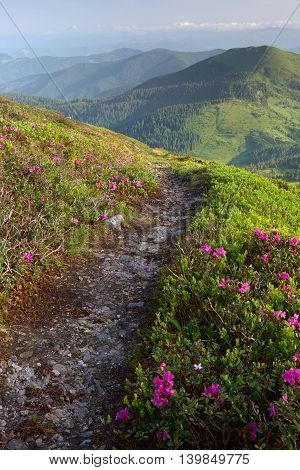 rhododendron flowers in the foreground a mountain trail. the background fog