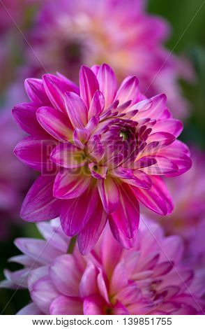 Closeup of a purple pink colored dahlia flower