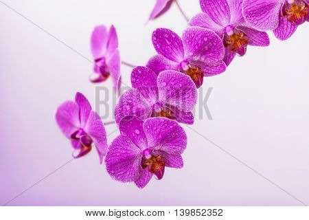 Blooming violet orchid branch flowers on blurred background