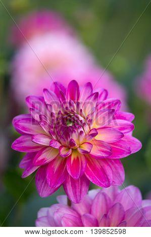 Closeup of a purple pink colored dahlia flower