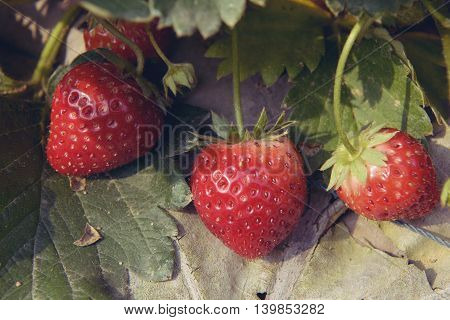closeup ripe strawberry bush in the farm