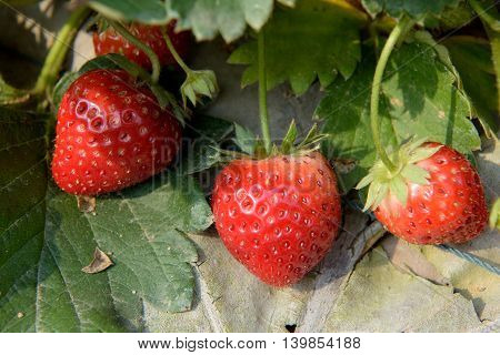 red ripe strawberry bush in the farm