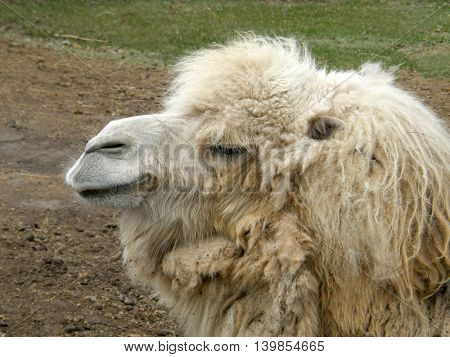 camel head. Very beautiful