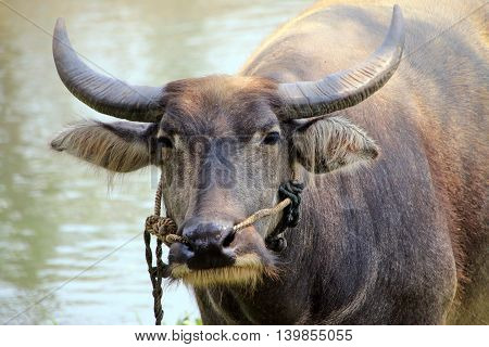 Asian Water-buffalo in close up at Riverside