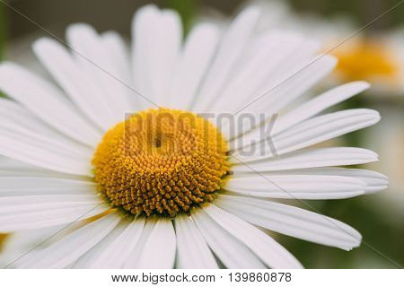 Close View Of Chamomile Or Matricaria, One Beautiful Blooming Garden Decorative Flower With White Petals And Yellow Inflorescence In The Center In Summer Spring. Macro Focus.