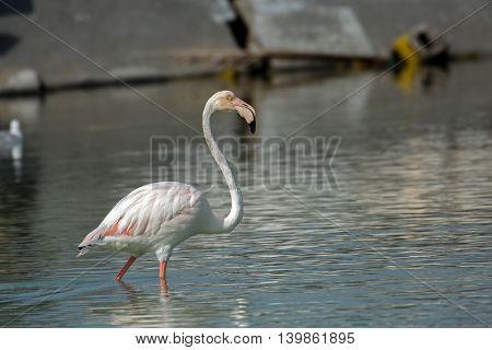 Greater Flamingo or Phoenicopterus roseus in a lagoon in Bahrain