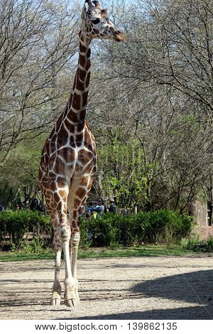 BROOKFIELD, ILLINOIS / UNITED STATES - APRIL 23, 2016: A tall reticulated giraffe (Giraffa camelopardalis reticulata) walks slowly forward in an exhibit area in the Brookfield Zoo.
