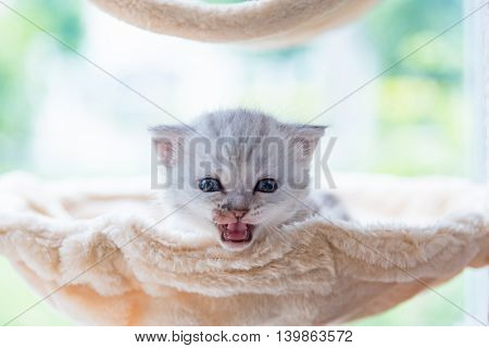 Close up of sick cute tabby kitten sit and looking on top of wooden cat toy in home.