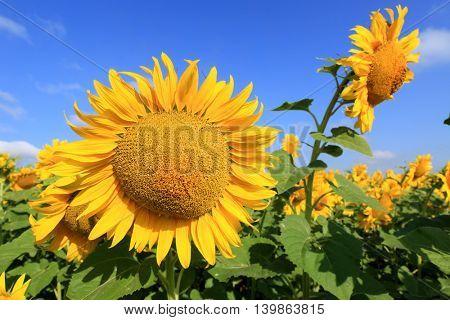 sunflower farming field in nice day
