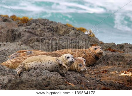Harbor Seals on the Rock in the Pacific Ocean