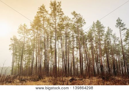 Autumn Misty Forest Landscape. Scenic View. Pine tree