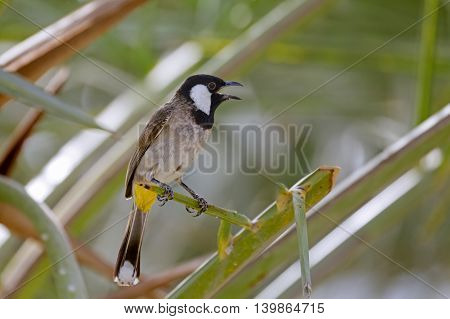 White-eared Bulbul or Pycnonotus Leucotis perched on a Date Palm tree in Bahrain