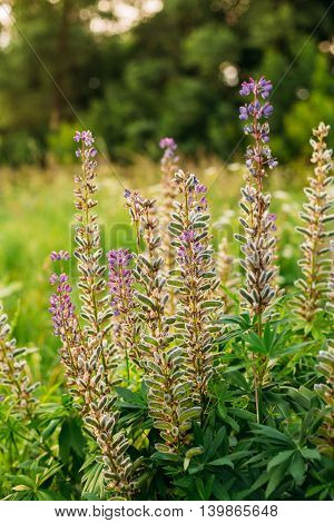 Bush Of Wild Flowers Lupine In Summer Field Meadow At Sunset Sunrise. Lupinus, Commonly Known As Lupin Or Lupine, Is A Genus Of Flowering Plants In The Legume Family, Fabaceae.
