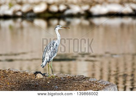 Western Reef Heron or or Egretta Gularis, a mottled youngster in a park in Bahrain