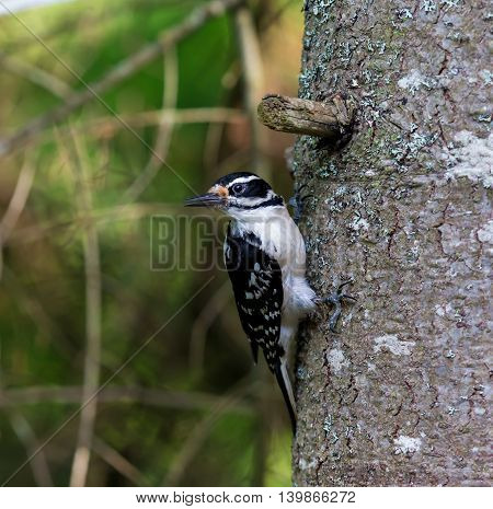 Hairy Woodpeckers are mainly black on the upper parts and wings, with a white or pale back and white spotting on the wings the throat and belly vary from white to sooty brown, depending on subspecies.