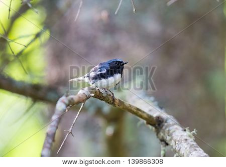 The Black Throated Blue Warbler is a handsome and familiar warbler of the northern forests. It migrates to the boreal forests of Quebec Canada in summer where it nests and returns south for the winter