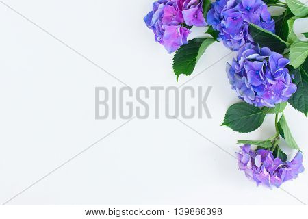 blue and violet hortensia flowers on white background with copy space