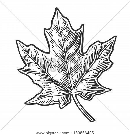 Maple leaf. Vector vintage engraved illustration. Isolated on white background