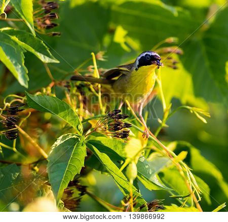 A broad black mask lends a touch of highwayman mystique to the male Common Yellowthroat. Look for these furtive, yellow-and-olive warblers skulking through tangled vegetation, often near marshes.