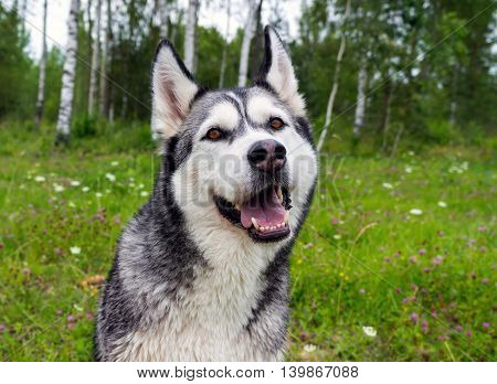 adult dog breed alaskan malamute in the meadow, looking right, funny face, open jaws, birch on the background,  fluffy and beautiful, one