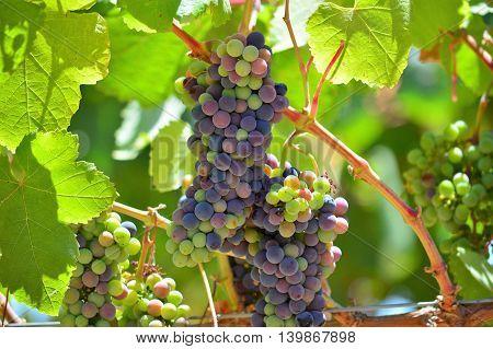 cluster of zinfandel grapes in Lodi, California vineyard