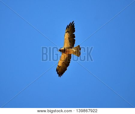 Large hawk soaring in California sky looking for lunch