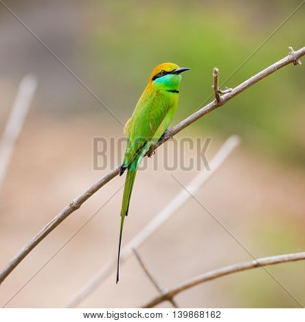 Green Bee-eater India, perched on a branch waiting to swoop down on an unsuspecting insect. These birds are one of incredible India natural treasures.
