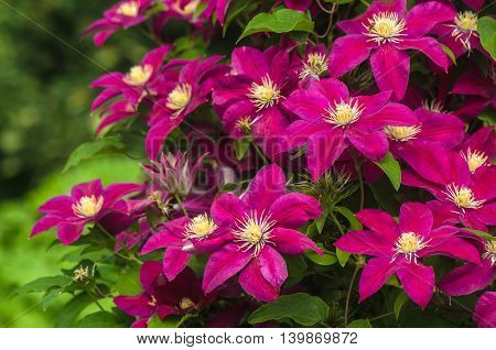 purple clematis bloom in the garden on a background of green leaves