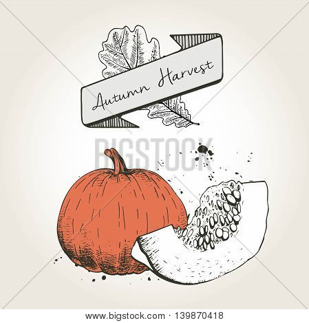 Vector hand drawn illustration of pumpkin slices. Engraved colored autumn vegetable isolated on vintage background. Harvest for cooking.