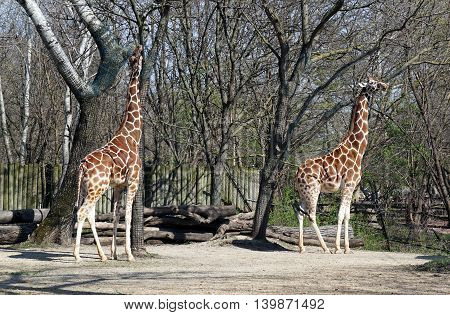 Two tall reticulated giraffes (Giraffa camelopardalis reticulata): one tries to reach for leaves in a tree protected by a mesh; the other stands in profile.