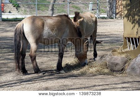 A pair of Przewalski's wild horses (Equus ferus przewalskii) eat hay together.