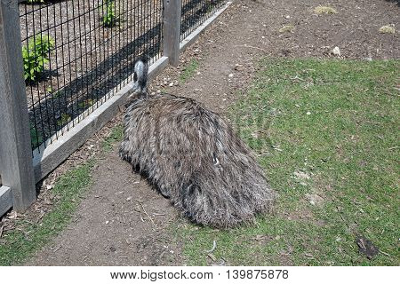 An Australian emu (Dromaius novaehollandiae) lies down next to a fence.